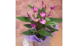 Purple Anthurium in Crate