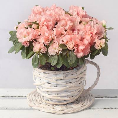 Pink Azalea in Wicker Teacup