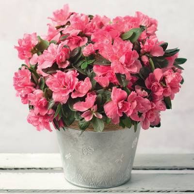 Pink Azalea with Zinc Pot