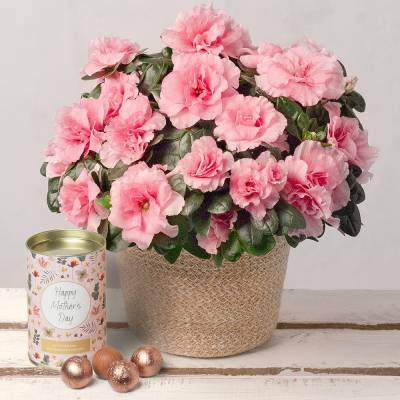 Mother's Day Azalea Gift
