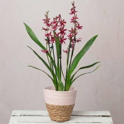 Fragrant Cambria Orchid