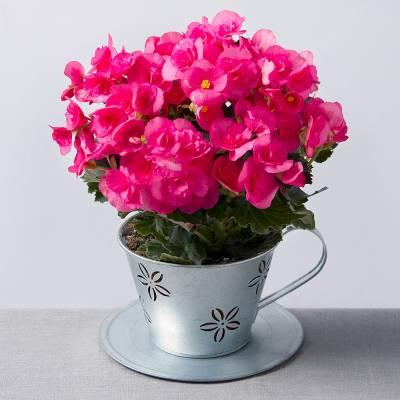 Begonia in Zinc Teacup
