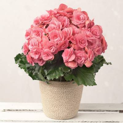 Pink Begonia in Jute Pot