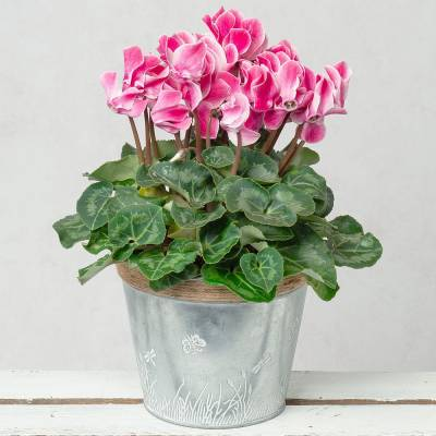 Pink Cyclamen in Zinc Pot