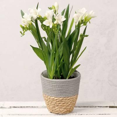 Freesia Plant