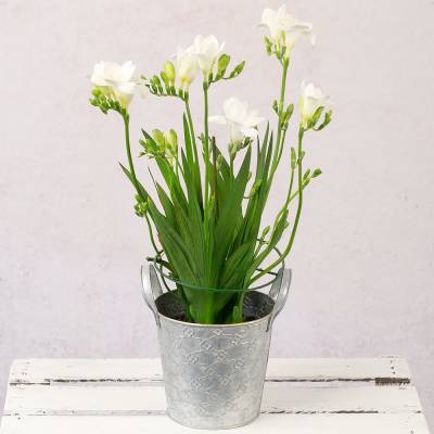 Freesia Plant In Zinc Pot