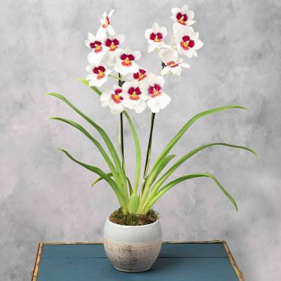 Miltonia Orchid in Ceramic Pot