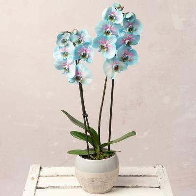 Pink & Blue Wonder Orchid