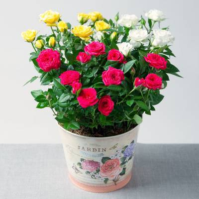 Summer Rose Planter