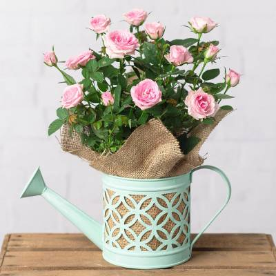 Spring Rose in Watering Can