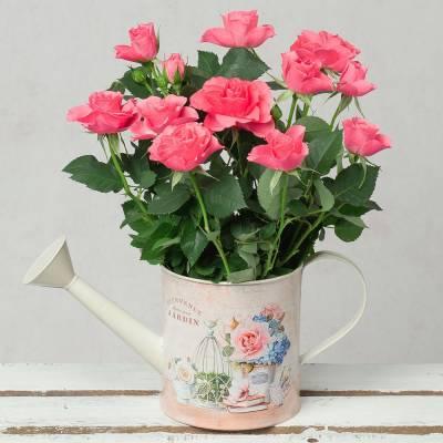 Pink Rose in Vintage Watering Can