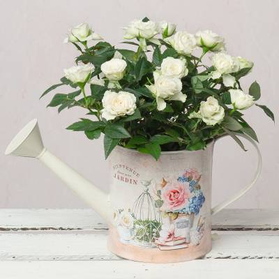 White Rose in Vintage Watering Can