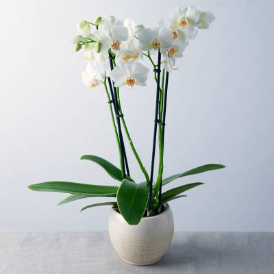 White Phalaenopsis Orchid - Flowers Gifts
