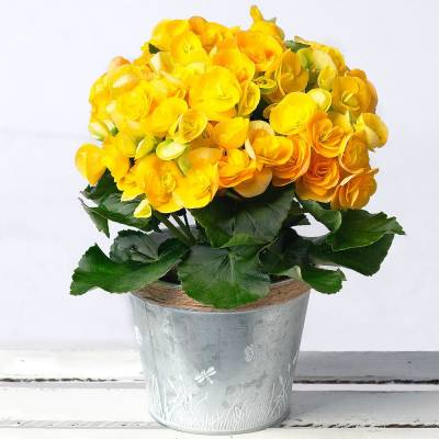 Yellow Begonia in Zinc Pot