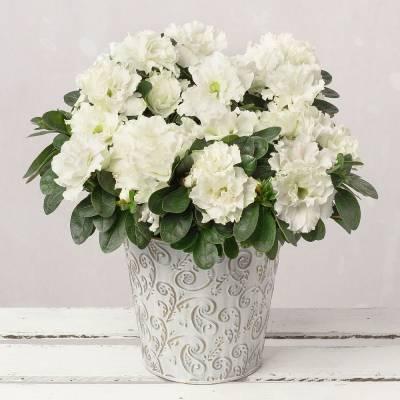 White Christmas Azalea