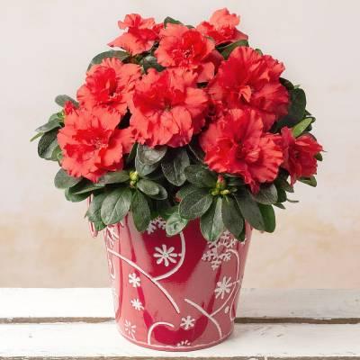 Red Azalea in Snowflake Pot