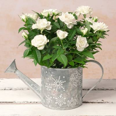 White Rose in Watering Can