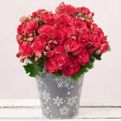 Red Begonia in Snowflake Pot
