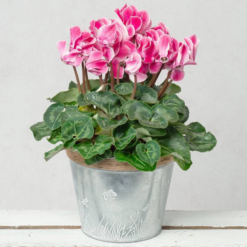 Pink Cyclamen in Zinc Pot