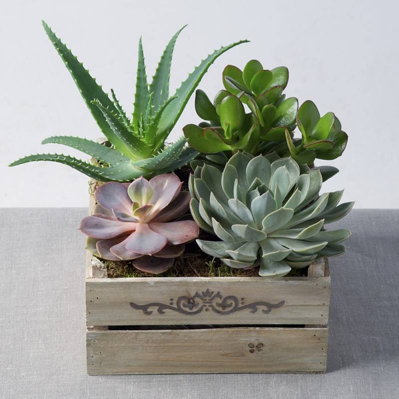 Mixed Succulents in Crate